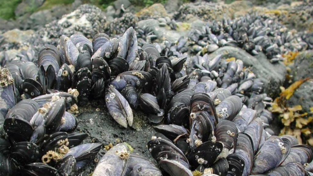 Il tumore delle cozze si propaga attraverso il mare