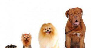 I cani raggiungono la mezza età a due anni