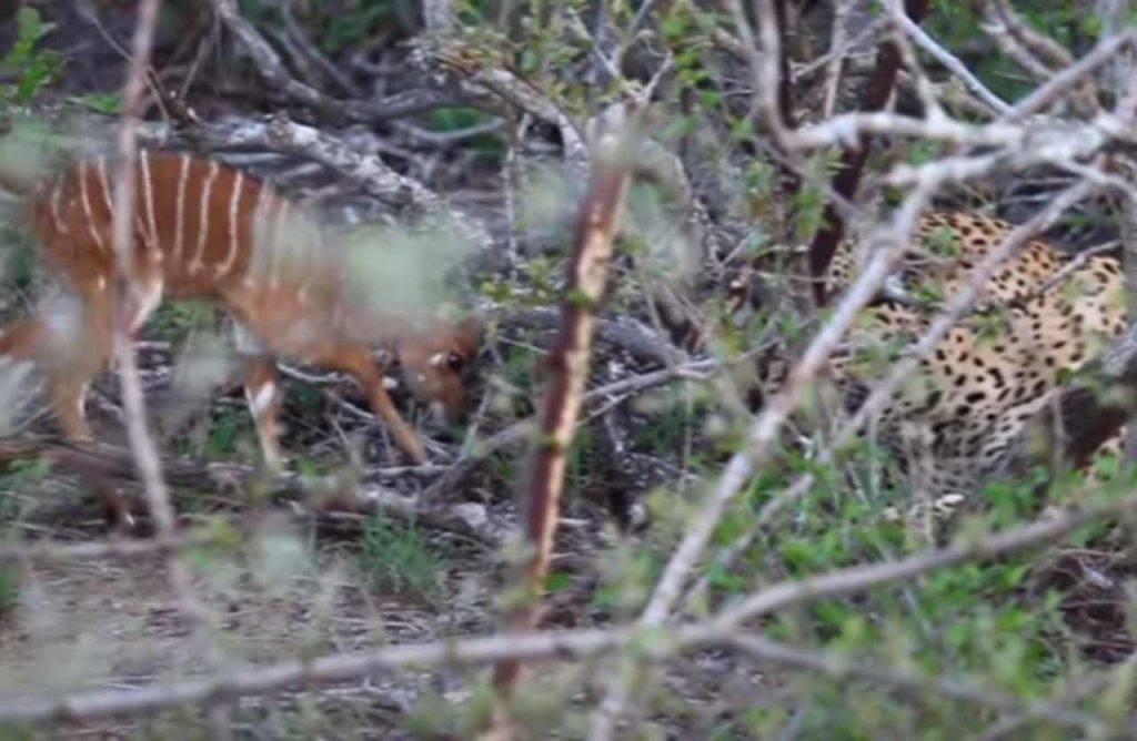 Cucciolo antilope leopardo