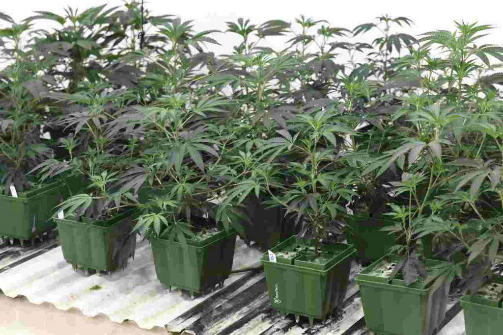 Cannabis light legale gennaio 2020