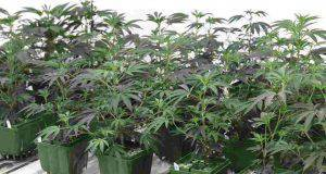 Cannabis reato casa