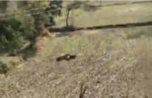 India tigre uccide 3 persone