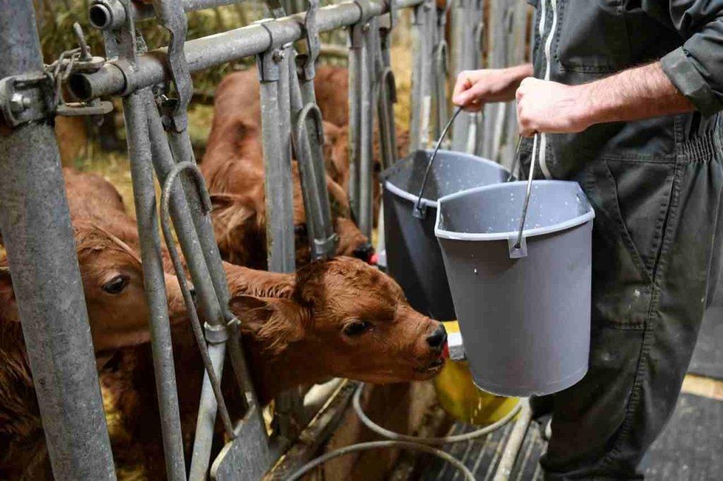 Latte mucche
