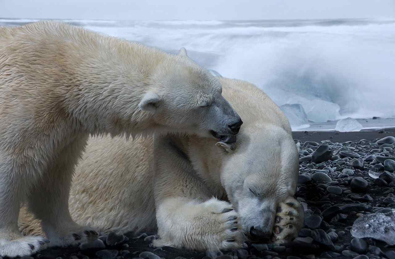 Polo Nord Orso