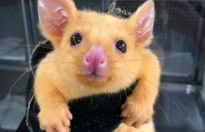 australia pikachu