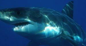sub ucciso da uno squalo