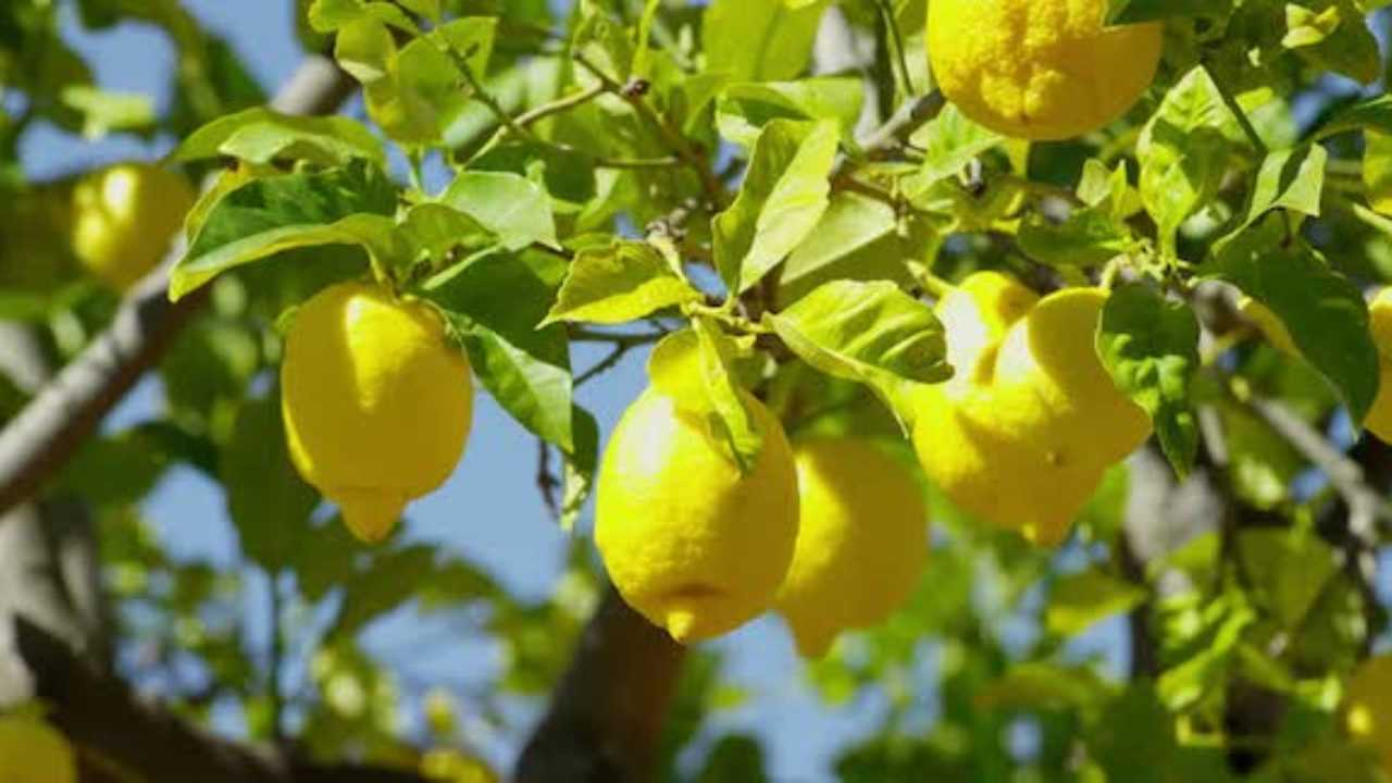 limoni (ideegreen.it)