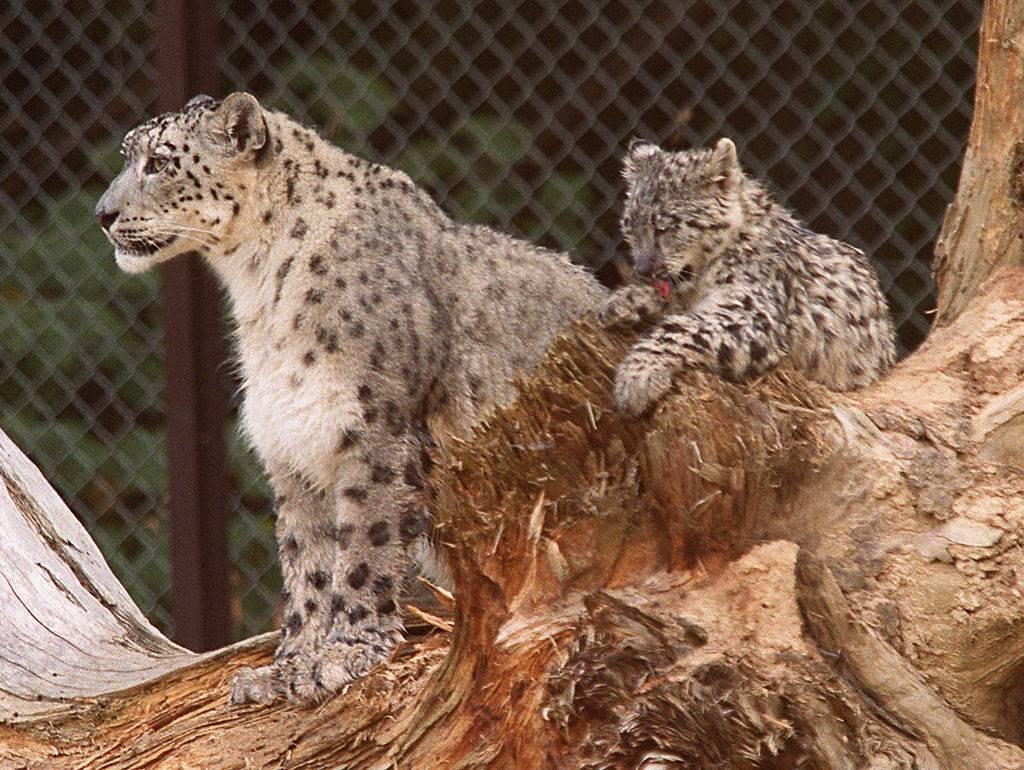 leopardi allo zoo