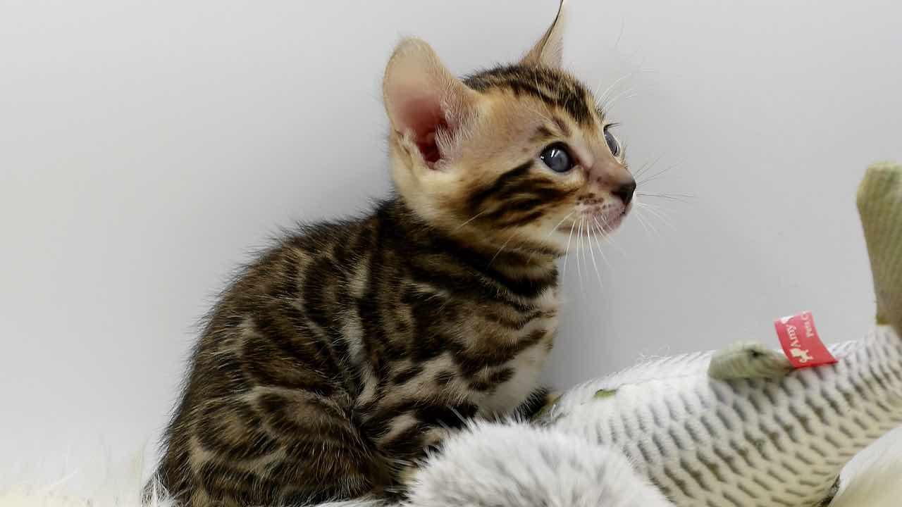 Acquistano un gatto Savannah ma scoprono che è una tigre