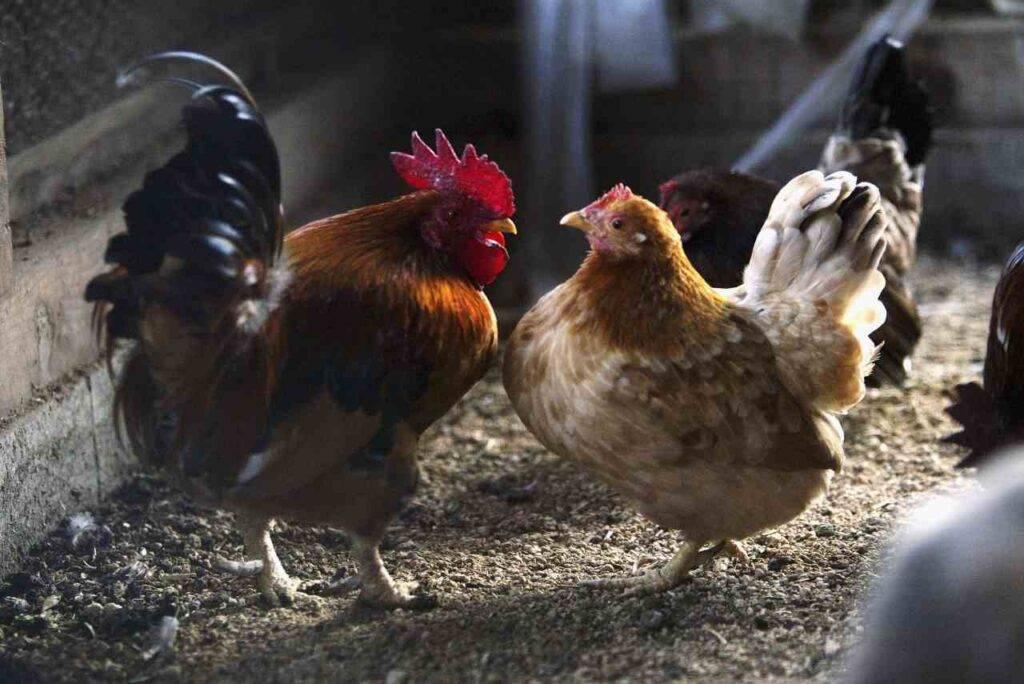 Polli Danimarca