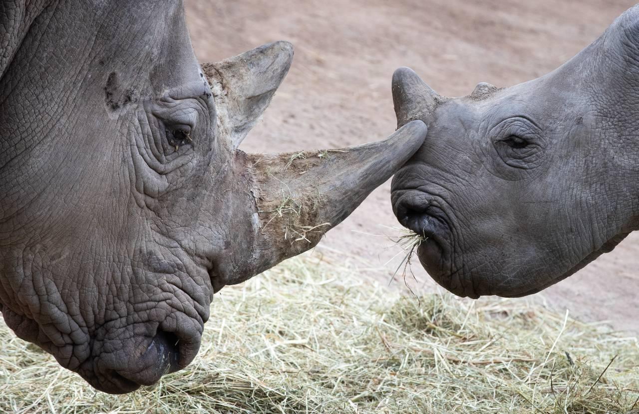 Google dedica il doodle a Sudan, l'ultimo rinoceronte bianco settentrionale