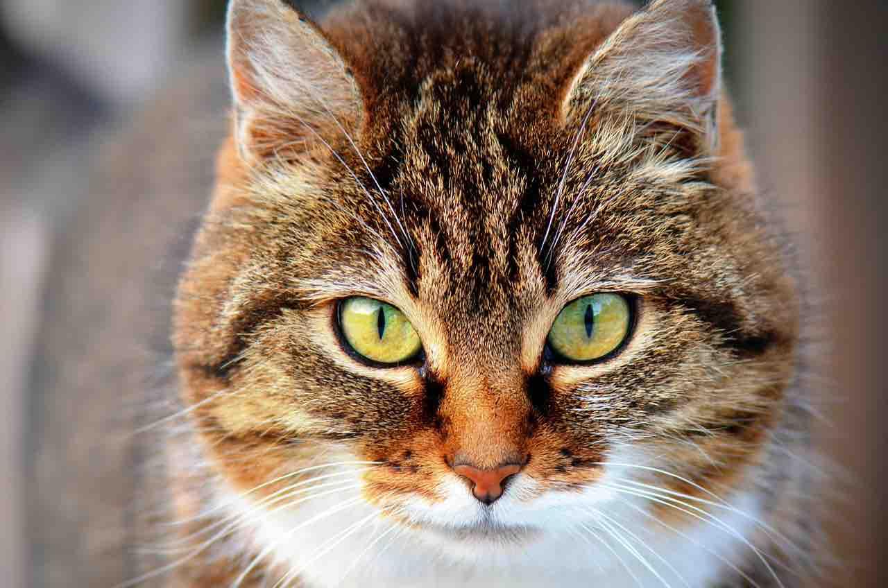 variante covid gatto